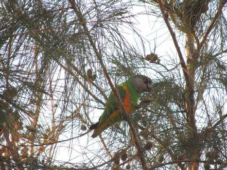 Senegal-Papegøye spiser nøtter